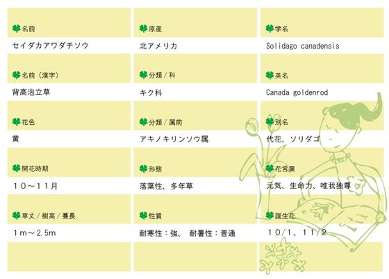 今日の花MEMOセイダカアワダチソウ560.jpg