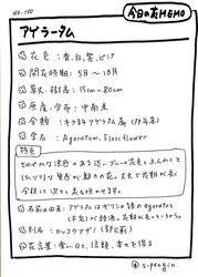 100アゲラータム.JPG