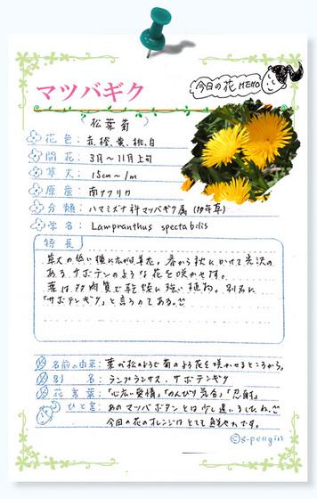 220今日の花MEMOマツバギク.jpg