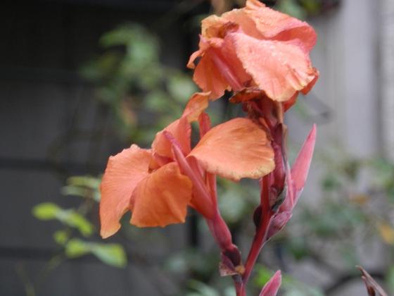 カンナの花01.jpg