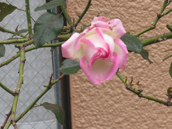 バラ13.jpg