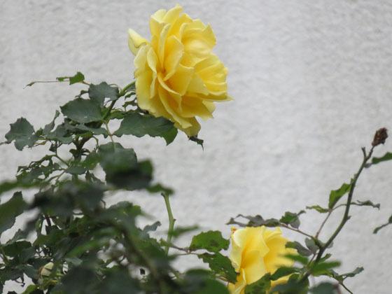 バラ14.jpg