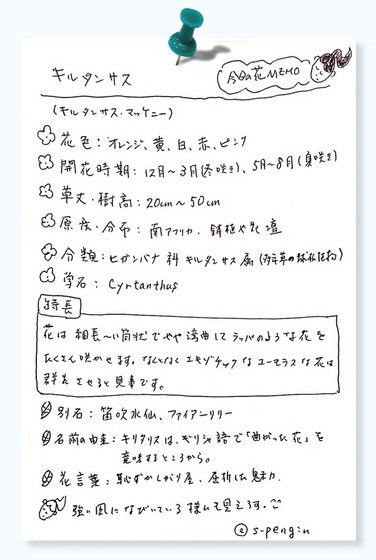 今日の花MEMOキルタンサス.jpg