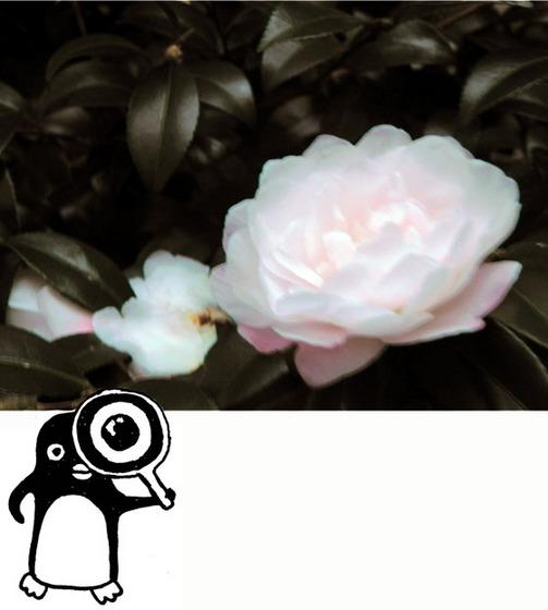 白いサザンカ01ペンギン入り - コピー.jpg
