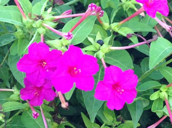 赤花オシロイバナ03b - コピー.jpg